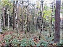 NT4227 : Woodland, Bowhill by Richard Webb