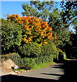 SO6329 : Early autumn colours, Perrystone Hill by Jaggery