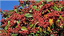J3471 : Cotoneaster berries, Stranmillis, Belfast - October 2015(1) by Albert Bridge