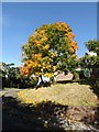 SH8076 : Sycamore tree in autumn colour by Richard Hoare