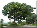 NY4925 : Roadside tree, Celleron by Christine Johnstone