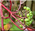 J4669 : Snowberries, Comber - October 2015(2) by Albert Bridge