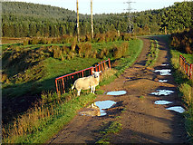 NC9048 : Startled ewe on the road at Forsinain by John Lucas