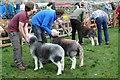 NY1808 : Herdwick ewes by Philip Halling