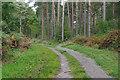 SU8457 : Pine woods, Hawley Common by Alan Hunt