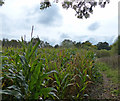 SK1313 : Maize crop next to the Trent & Mersey Canal by Mat Fascione