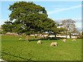 SE0820 : Sheep and oak trees, Greetland by Humphrey Bolton