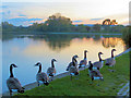 SP9213 : Canada Geese at Sunset at Marsworth Reservoir by Chris Reynolds