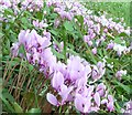 SO8610 : Painswick Rococo Gardens - Cyclamen by Rob Farrow