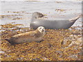HY6521 : Stronsay: two seals by Chris Downer