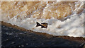 NY9464 : Salmon leap by Glyn Evans