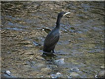 SD9771 : Young cormorant standing in the River Wharfe by Graham Robson