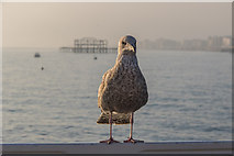 TQ3103 : Young Herring Gull, Brighton Pier, Brighton, East Sussex by Christine Matthews