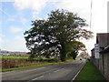 SJ2205 : Dominant oak south of Welshpool by Jaggery