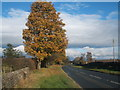 NZ1120 : Autumnal tree beside the A688 by JThomas