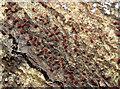 J4583 : Coral spot fungus, Helen's Bay (November 2015) by Albert Bridge