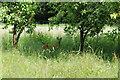 SO7906 : Roe deer near Nastend Green Farm by Philip Halling