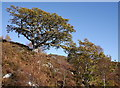 NH3539 : Oak trees, on the slopes of Strathfarrar by Craig Wallace