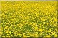 SO7806 : Buttercups in flower in a field near Westend by Philip Halling