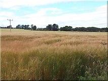 NH6454 : Barley, Balnakyle by Richard Webb