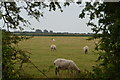 TR1132 : Romney Marsh sheep by N Chadwick