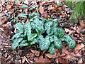TG3610 : Variegated leaves by Evelyn Simak