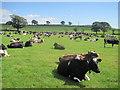 NY5457 : Farmland and cows, Hill House Farm by Les Hull