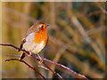 SD7908 : Britain's Favourite Bird - Erithacus rubecula by David Dixon