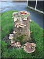 SJ3965 : Bracket fungi in Earlsway, Curzon Park by John S Turner