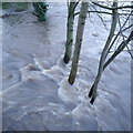 SE2336 : Trees in the flooded River Aire, Newlay Bridge by Rich Tea