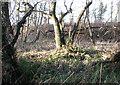 TG4010 : Gnarled alders in Damgate Wood by Evelyn Simak