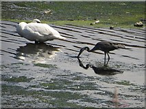 SE3231 : Swan and Heron in the Aire and Calder Navigation by Graham Robson