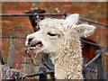 SD8304 : Alpaca Chewing at Heaton Park Animal Centre by David Dixon
