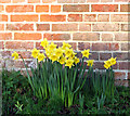 TG2804 : Daffodils flowering in December by Evelyn Simak