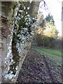 SO7640 : Lichen on a tree by footpath at British Camp by David Smith