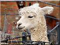 SD8304 : Heaton Park Animal Centre, White Alpaca by David Dixon