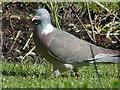 NX1080 : Wood Pigeon, Old Smyrton Glenapp by Billy McCrorie