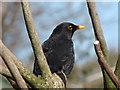 NX1080 : Blackbird, Old Smyrton Glenapp by Billy McCrorie