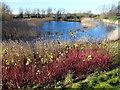 TL4767 : Dogwood on the lakeside by Richard Humphrey