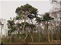 SJ7965 : Scots pine at Brereton Heath by Stephen Craven