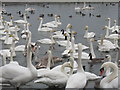 NY0565 : Swans, and other wildfowl, at Caerlaverock by M J Richardson