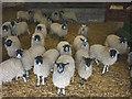 SD6476 : Sheep at Leck by Karl and Ali