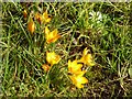 SO8454 : Early crocuses by Philip Halling