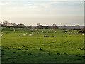 SU8037 : Grazing sheep by Robin Webster