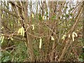 SD3201 : Hazel catkins by Norman Caesar