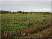 TL5392 : Grazing on Ouse Washes by Hugh Venables