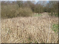 SK0308 : Brambles and a tall grass colonising ground, Chasewater country park by Robin Stott