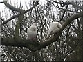 NZ2666 : White pigeons in a tree, Jesmond Dene by Graham Robson