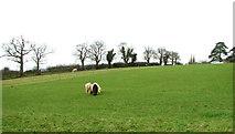 TG2403 : Grazing by High Ash Farm by Evelyn Simak