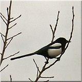 SJ9594 : Magpie (Pica pica) by Gerald England